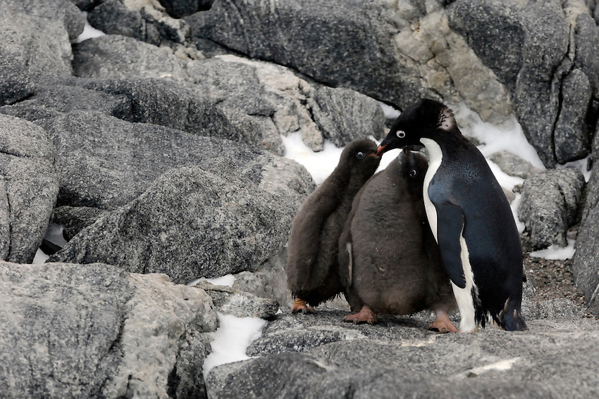 Yummy - Adelie penguins and chicks in their rookery at Boat Harbor
