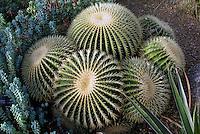 Flores. Cacto ( Echinocactus grusonii ). UK. Foto de Manuel Lourenço.
