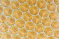 The queen lays her eggs in the empty cells.///Dans les cellules vides, les œufs sont pondus par la reine.