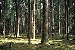 Pine forest inBialowieza forest, eastern Poland.