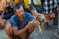 Bali, Indonesia.  Man Examines a Blade Tied to the Foot of his Rooster before a Cock Fight in an Indonesian Village.
