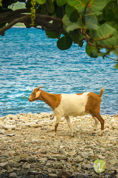 Caribbean, Coral Bay, St. John, Miss Lucy's. Goat
