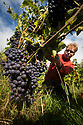 """07/09/18<br /> <br /> ***With Video***<br /> <br /> Kieran Smith.<br /> <br /> Grape picking starts at Amber Valley Wines in Wessington, Derbyshire. Managing Director, Barry Lewis, said: """"The hot summer means that yields from the vineyard are expected to be three times better than normal, reflecting a UK-wide harvest that is likely to be the best since the second world war"""".<br /> <br /> <br /> All Rights Reserved: F Stop Press Ltd. +44(0)1335 344240  www.fstoppress.com www.rkpphotography.co.uk"""