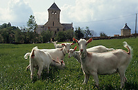 Europe/France/Pays de la Loire/49/Maine-et-Loire/Env de Cizay-la-Madeleine: Les chèvres de Martine Moreau à la fromagerie de l'abbaye d'Asnières