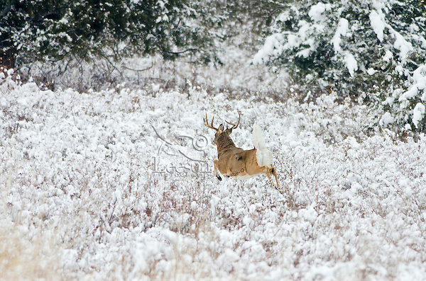 White-tailed Deer buck (Odocoileus virginianus) flagging (warning signal) as it bounds for denser brush , Western U.S., Late Fall.