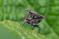 Melierte Schneckenfliege, Schneckenfliege, Paarung, Kopulation, Kopula, Pärchen, Coremacera marginata, Snail killing fly, Snail-killing Fly, pairing, Hornfliege, Netzfliegen, Hornfliegen, Netzfliege, Sciomyzidae, Marsh flies, snail-killing flies