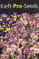 Pansy display at Kieft Seeds California Pack Trials