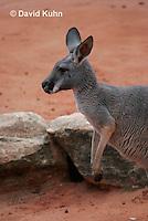 0906-0819  Red Kangaroo, Macropus rufus  © David Kuhn/Dwight Kuhn Photography.