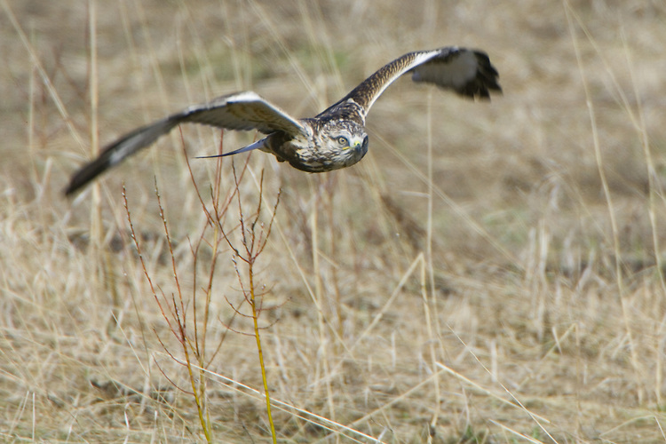 Rough-legged Hawk flying low over a field