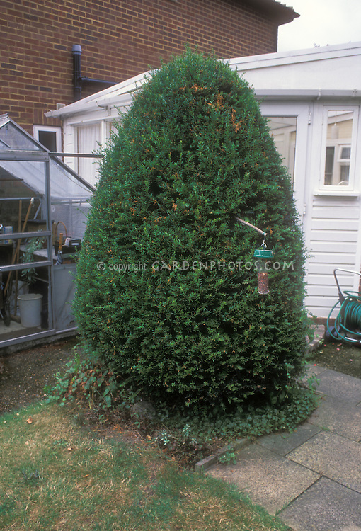 Final stage after pruning: Stage 3 Fully recovered pruned evergreen Yew Taxus tree with bird feeder in front of house