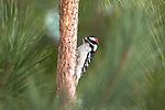 Male downy woodpecker on a red pine tree in northern Wisconsin.
