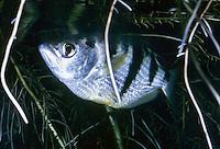 Schützenfisch, Spritzfisch, Toxotes jaculatrix, Toxotes jaculator, Labrus jaculatrix, banded archerfish, Le Toxote