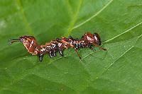 Buchen-Zahnspinner, Buchenzahnspinner, junge Raupe, Stauropus fagi, Lobster Moth, Notodontidae, Zahnspinner