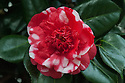 Camellia japonica 'Chandleri'. Originated in 1819 by the Vauxhall nursery of Chandler & Son through a cross between 'Variegata' (brought from China in 1792) and 'Anemoniflora' (brought from China in 1806). First offered for sale in 1825 at five ponds and five shilings, the equivalent of half a year's wages for a maidservant. (From catalogue, Camellias in the Conservatory Festival 2011, Chiswick House and Gardens).