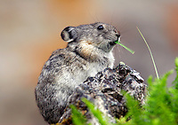 A northern or collared pika (Ochotona collaris), Denali National Park, Alaska
