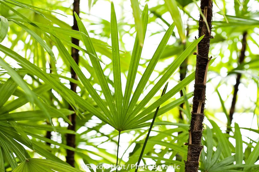 Jade Empress, Finger Palm (Rhapis multifida) leaf foliage San Francisco Conservatory of Flowers