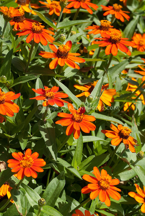 Zinnia 'Profusion Fire' summer annual flowers, angustifolia hybrid