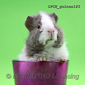 Xavier, ANIMALS, REALISTISCHE TIERE, ANIMALES REALISTICOS, photos+++++,SPCHGUINEA125,#A#, EVERYDAY ,funny