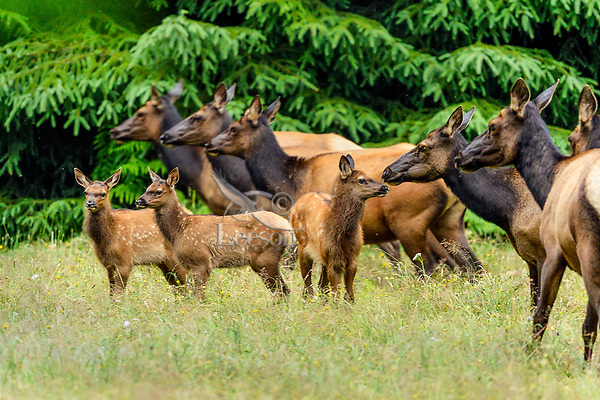 Roosevelt Elk (Cervus canadensis roosevelti) cows and calves, sometimes called Olympic Elk, standing in meadow.  Olympic National Park, WA.  Summer.