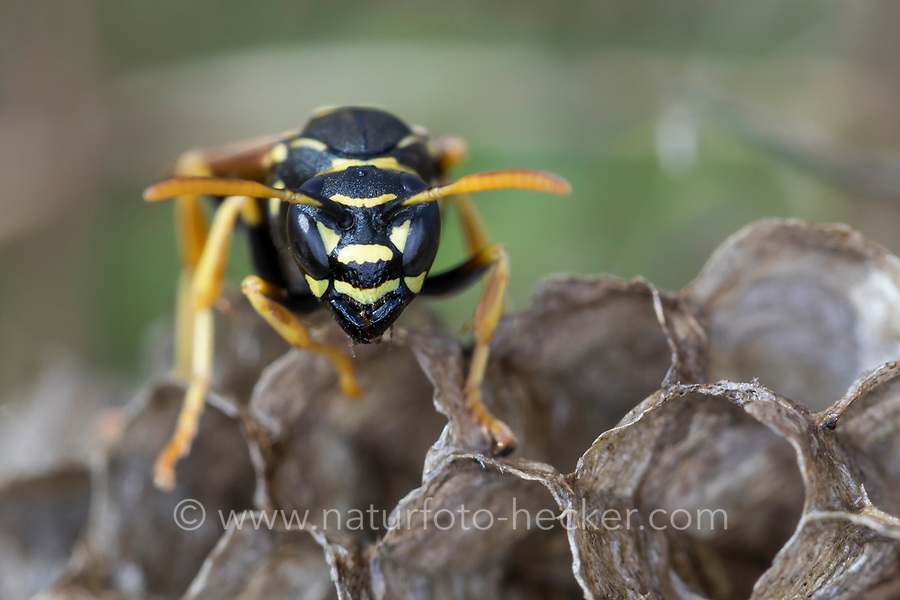 Heide-Feldwespe, Heidefeldwespe, Feldwespe, an ihrem Nest, Wespennest, Polistes nimpha, polistine wasp, Faltenwespen, Feldwespen