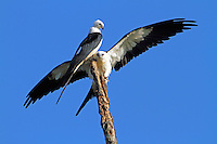 Swallow-tailed kites. Looks like the upper bird is an adult and the landing bird a juvenile-maybe looking for a handout.