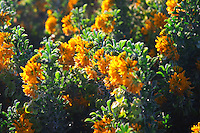 Yellow flowers in late afternoon sunshine on the St Pierre des Embies island outside Sanary Le Brusc Six Fours Var Cote d'Azur France