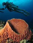 Orchid Island, Taiwan -- Divers over an orange barrel sponge.