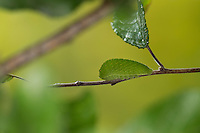 Segelfalter, Segel-Falter, Raupe frisst an Schlehe, Iphiclides podalirius, Scarce Swallowtail, Sail Swallowtail, Pear-tree Swallowtail, caterpillar, Le Flambé