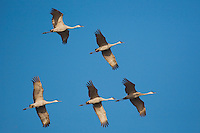 Sandhill Crane (Grus canadensis), flock in flight, Sinton, Corpus Christi, Coastal Bend, Texas, USA