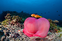 Maldive anemonefish, blackfinned anemonefish, or blackfoot anemonefish, Amphiprion nigripes, and their host magnificent sea anemone, Heteractis magnifica, Maldives, Indian Ocean
