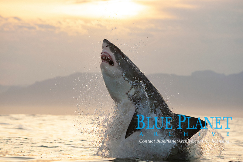 great white shark, Carcharodon carcharias, attacking on a seal decoy, Seal Island, False Bay, South Africa