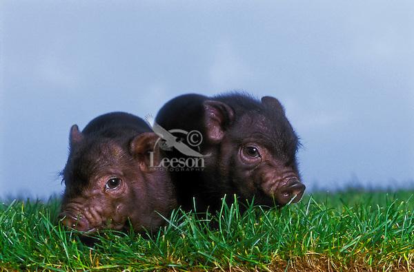 Vietnamese Pot-Bellied Piglets
