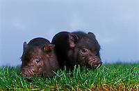 Vietnamese Pot-Bellied Piglets