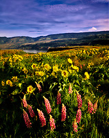 Balsam root and Lupine. Tom McCall Preserve. Columbia River Gorge National Scenic Area, Oregon