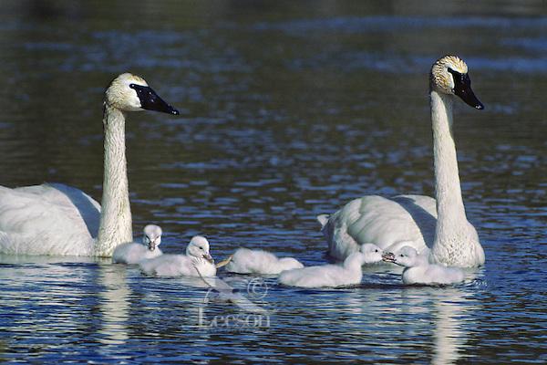 Trumpeter Swan family, Western U.S., June.