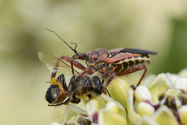 Bee Assassin Bug (Apiomerus crassipes), adult feeding on Honey Bee (Apis mellifera) on Antelope horn (Asclepias asperula) , Hill Country, Central Texas, USA