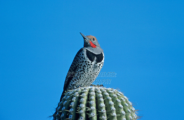 Gilded Flicker, Colaptes chrysoides, adult on Saguaro Cactus, Tucson, Arizona, USA