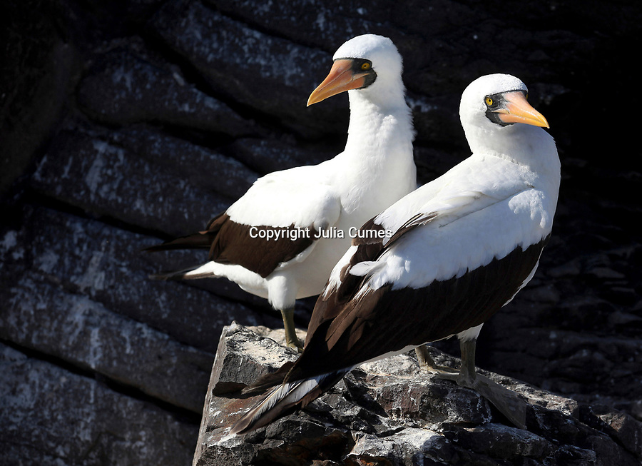 Two nazca boobies are photographed on Espanola Island in the Glalapagos.