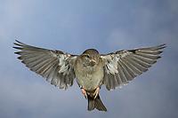 Hausspatz, Weibchen, Flug, fliegend, Flugbild, Haus-Spatz, Spatz, Haussperling, Haus-Sperling, Spatzen, Passer domesticus, House Sparrow, female, flight, flying, sparrows, Le Moineau domestique
