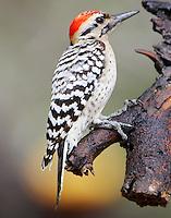 Adult male ladder-backed woodpecker