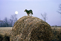 Young German Shepard mix breed dog waiting and watching on hay bale as evening comes, Midwest USA