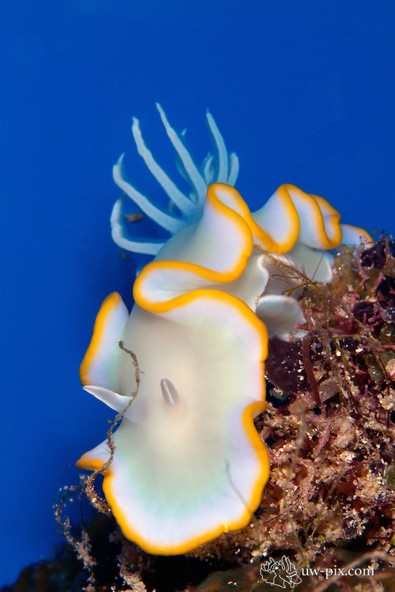 """egretta ardeadoris nudibranch with blue background, Raja Ampat, south Misool 2011.<br /> The image was taken using a """"studio"""" blue background slate."""