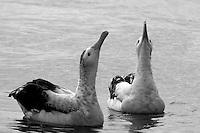 Wandering Albatross Courtship off Wollongong