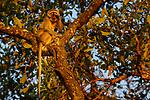 Vervet Monkey (Chlorocebus pygerythrus) male yawning, Kafue National Park, Zambia