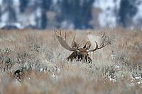 Moose Bull Lying in Sagebrush, Gran Teton National Park