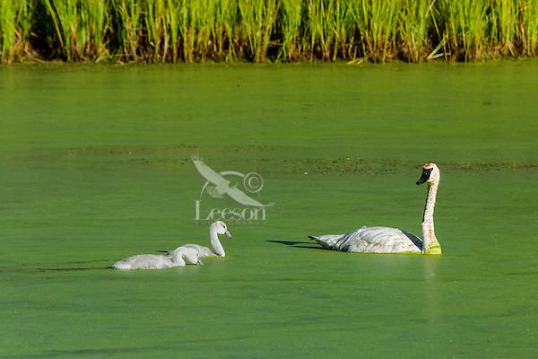 Trumpeter Swan (Cyngus buccinator) with cygnets on duckweed covered pond, Western U.S., June.  Duckweed is an important high-protein food source for waterfowl.