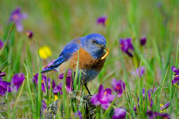 Male Western Bluebird (Sialia mexicana)