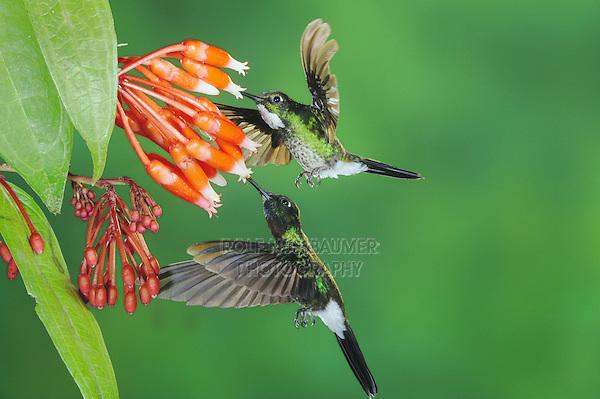 Tourmaline Sunangel (Heliangelus exortis), male female pair feeding from flower,Papallacta, Ecuador, Andes, South America