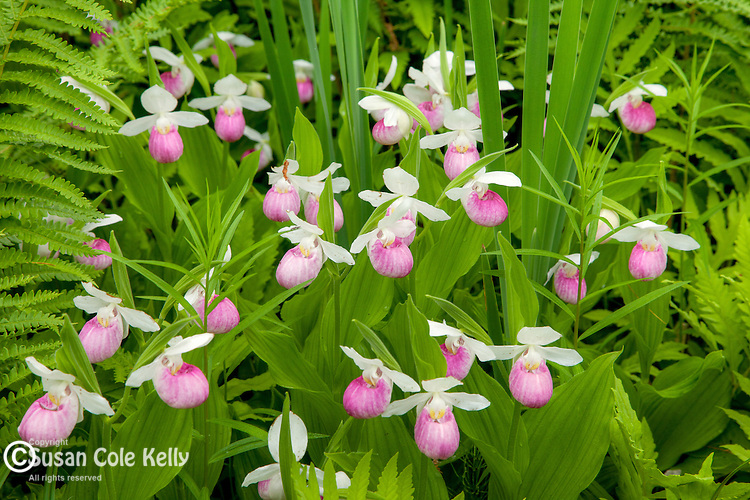 Showy Lady's Slippers preserved by the Nature Conservancy in Hartland, VT, USA