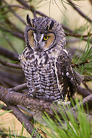 Long-eared Owl perched in a pine tree